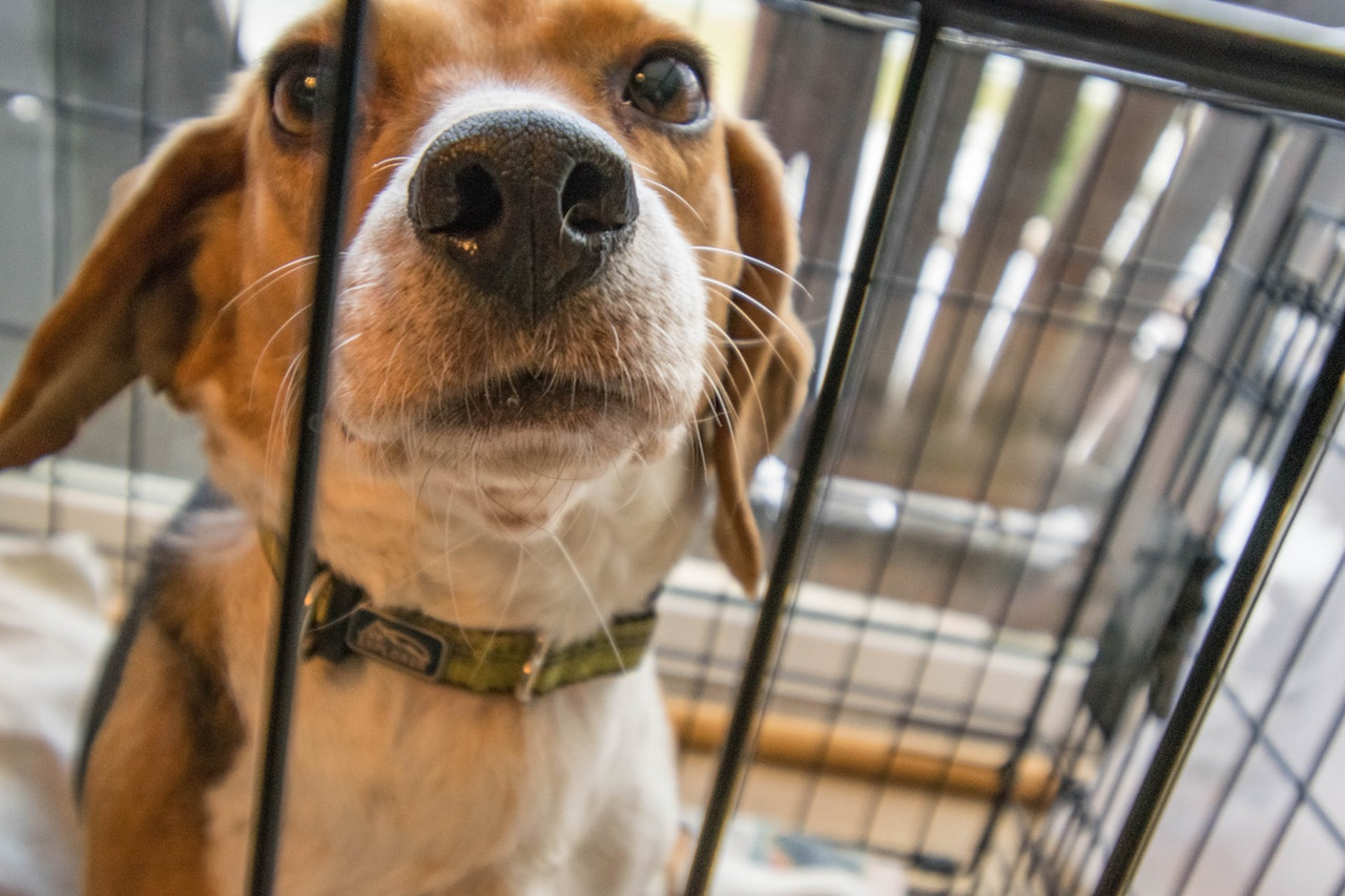 Adult beagle in a crate