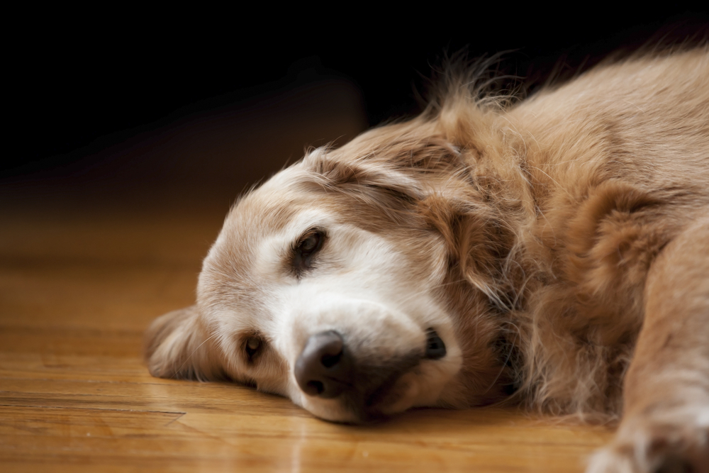 Signs of Pain and Discomfort in Dogs by Jennifer Kachnic   The Grey Muzzle  Organization