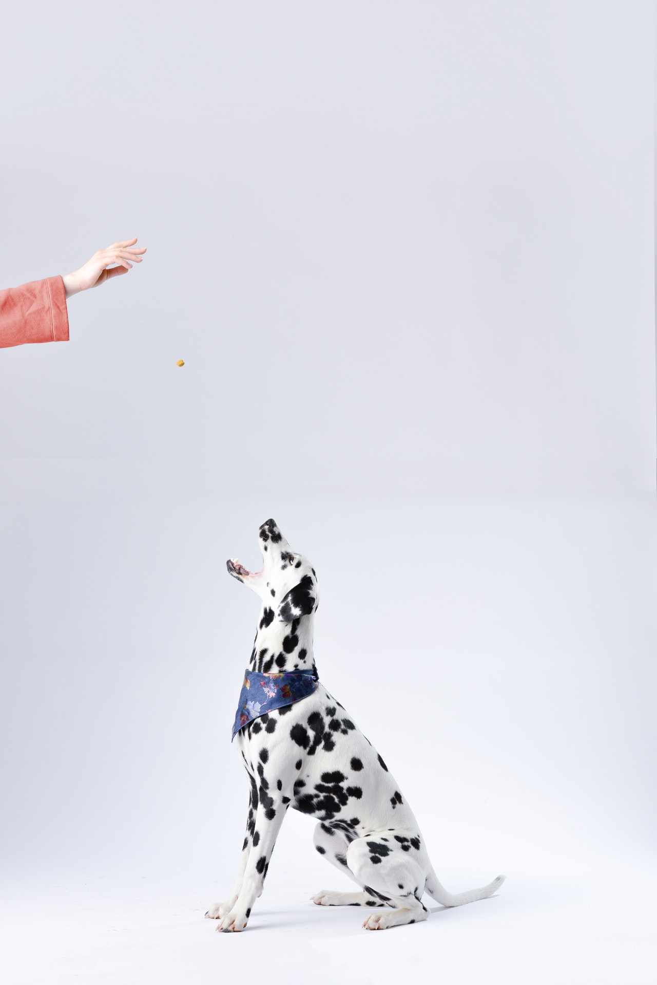 Dalmation receiving treat