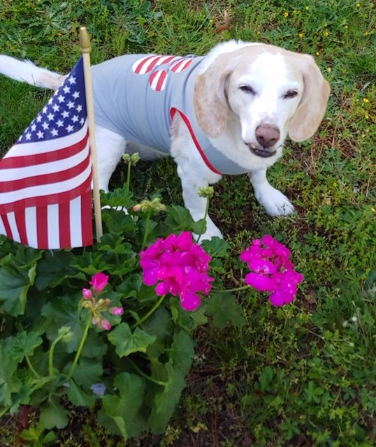 Blond beagle Happy by flag