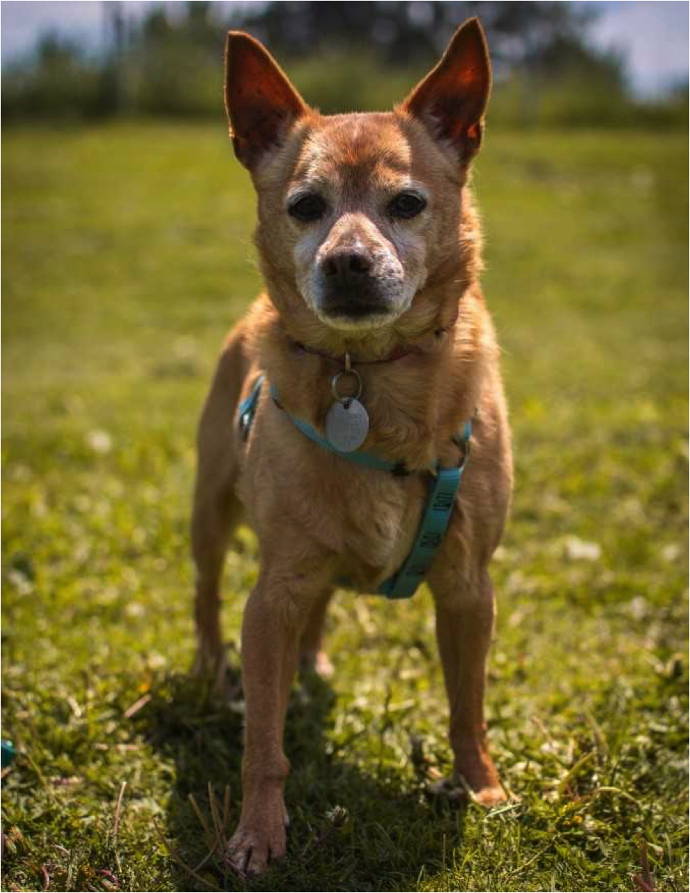 Small tan dog standing on grass