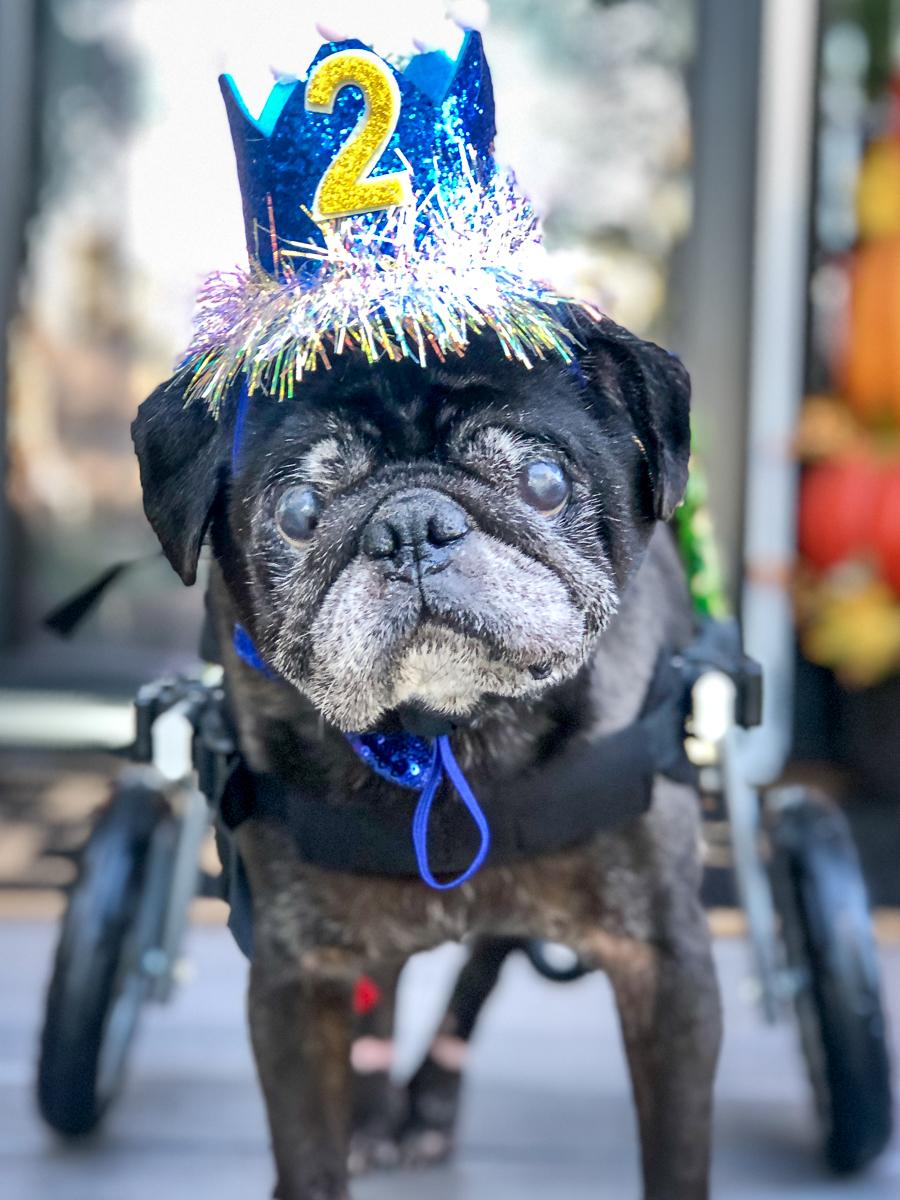 Pug with cart