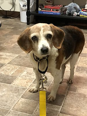 Lilly the beagle at shelter