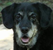 Angel, a 12-year-old Lab mix