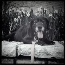 Sara, a senior black lab