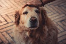 Senior Golden Retriever being petted