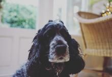 Cocker Spaniel with grey muzzle
