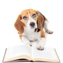 Beagle with glasses reviewing report
