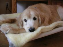 Sampson looking relaxed as he rests on his donated Kuranda bed with fleece pad