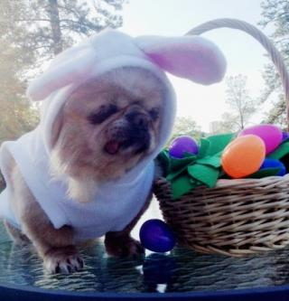 Buddy dressed up as an Easter bunny
