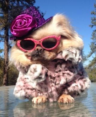 Buddy looking fabulous in his sun glasses and fur coat