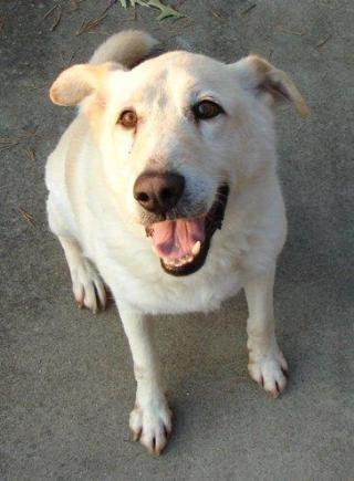 Brody, a yellow lab mix, now deceased