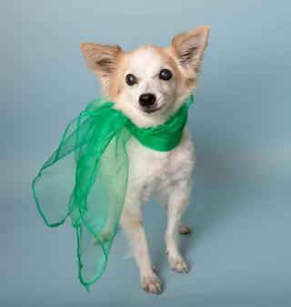 Small dog in green scarf