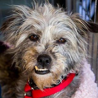 Light grey terrier dog with underbite