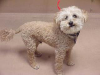 Cream colored terrier mix Harley