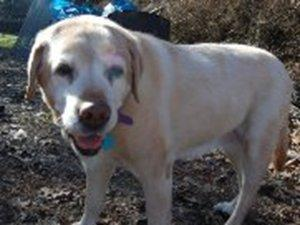 Jane, a Golden Retriever, now deceased