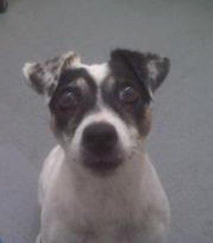 Kimmy, a Jack Russell terrier mix