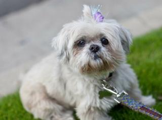 Lollie, the Shih Tzu, now deceased
