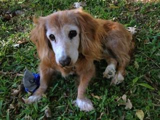 Sugar Pie, a Dachshund, now deceased