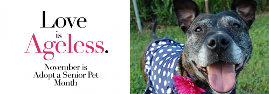 Text of Love is Ageless. November is Adopt a Senior Pet Month. To the right is an old black dog with a white polkadots on blue dress with a pink flower around her neck.
