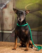 miniature pinscher sitting in front of a green background