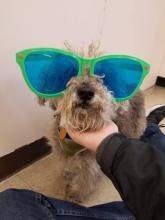 Small gray dog with green sunglasses on