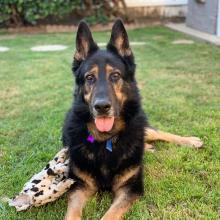German Shepherd Magnus
