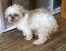 Leena, a small, white, fluffy dog, now deceased