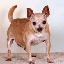Little tan Chihuahua Vita