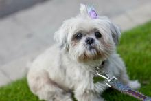 Lollie, a senior Shih Tzu