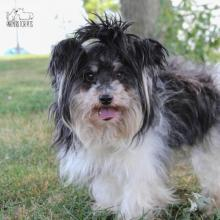 Black & white long haired dog standing on grass with mouth open