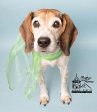 White and brown dog with green scarf standing in blue background