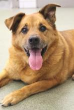 Large brown dog with one ear up and one down, turned toward camera with mouth open. The dog is laying on the floor.