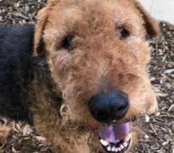 Close up of Airedale Terrier