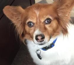 Papillon mix Freddie