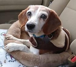 Lilly the beagle in a dog bed
