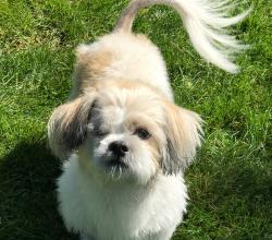 Close up of white and brown Shih Tzu with one eye