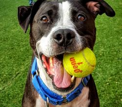 pit bull dog with tennis ball in mouth