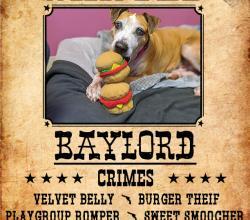 Mixed breed dog Baylord