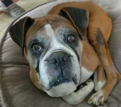 Boxer dog with a grey face