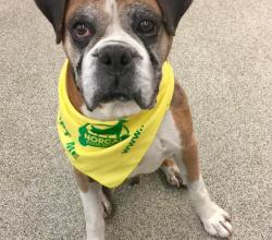 Chester the boxer with a yellow bandana