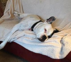 Ella the white boxer sleeping on the couch