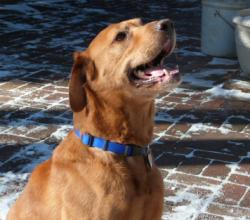 Profile view of fox red Labrador Retriever Gabe