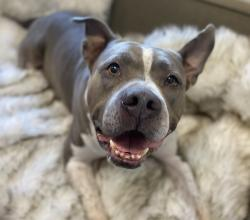 Hagrid the grey and white pit bull