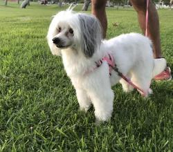 White Chinese Crested dog Lexi