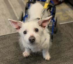 White dog Mario in wheelchair