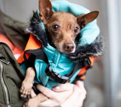 Brown Chihuahua in a blue winter coat